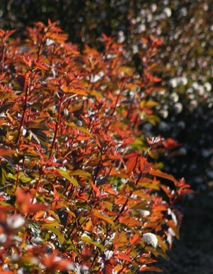 Physocarpus Diable d'Or® foliage