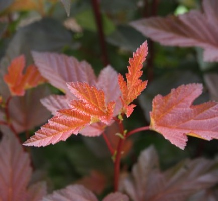 Physocarpus Diable d'Or® foliage close-up
