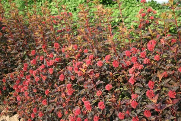 Physocarpus Diable d'Or® in garden