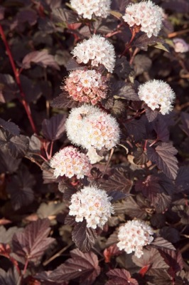 Physocarpus Lady in Red flower image