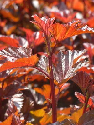 Physocarpus Lady in Red foliage close-up