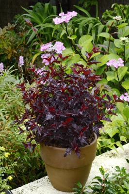 Physocarpus All Black on patio