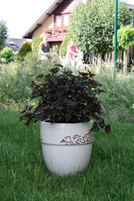 Physocarpus Red Esquire in pot