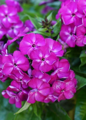 Phlox Bambini® Desire flower close-up