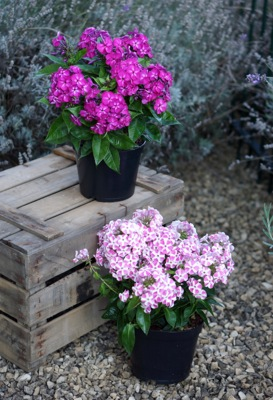 Phlox Bambini® Desire on patio