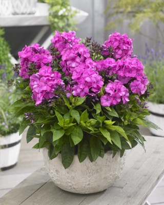 Phlox Bambini® Primadonna on patio