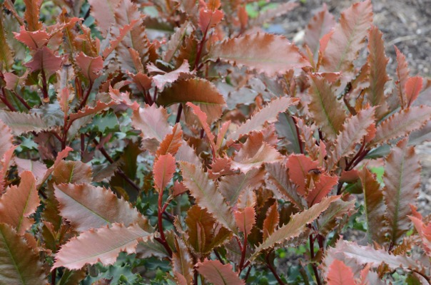 Photinia Crunchy® foliage