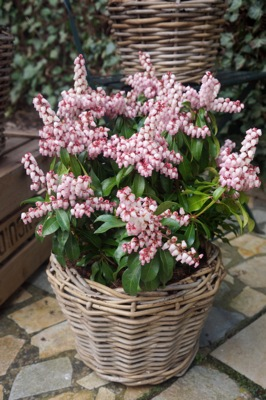 Pieris Pink Passion in pot