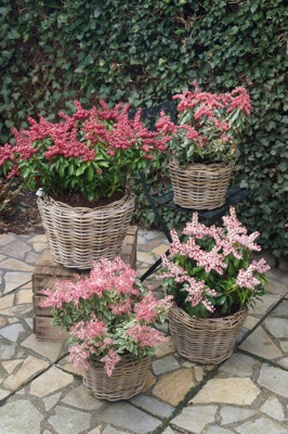 Pieris Pink Passion on patio