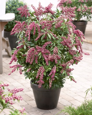 Pieris Passion in pot
