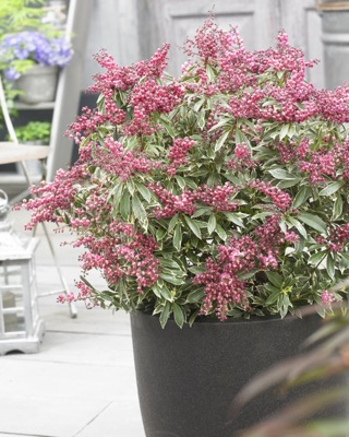 Pieris Polar Passion on patio