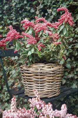 Pieris Ralto in pot