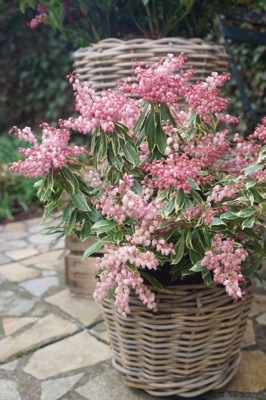 Pieris Ralto Rose in pot