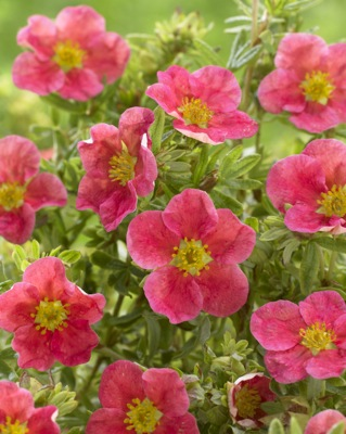 Potentilla Danny Boy flower image