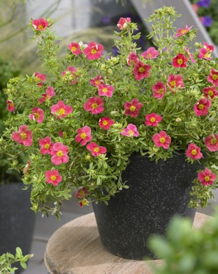 Potentilla Danny Boy on patio