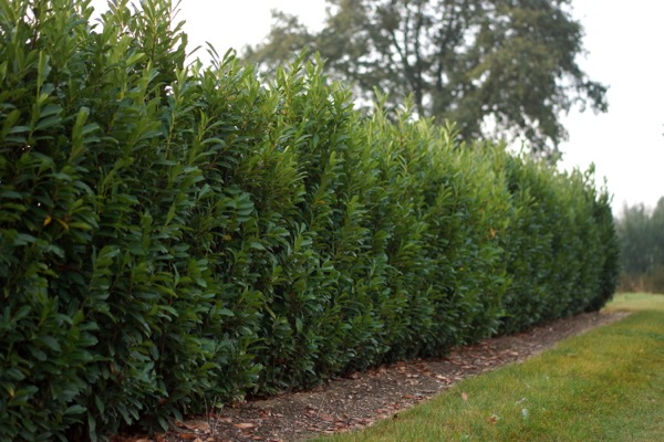 Prunus Elly® in garden