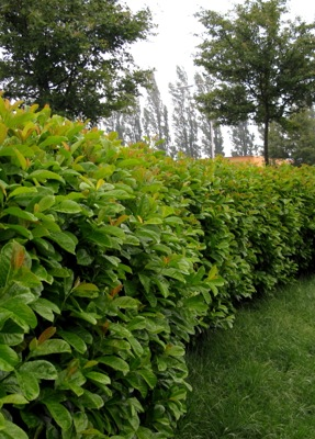 Prunus Etna® in garden