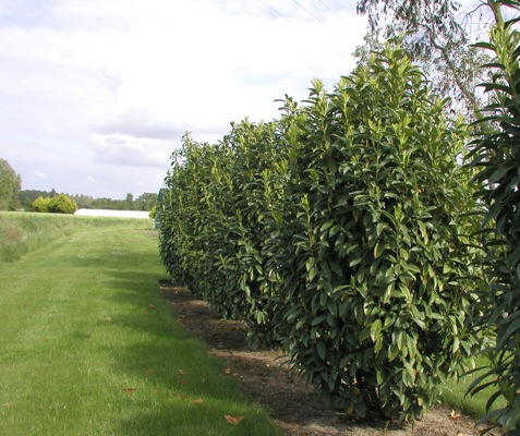 Prunus Genolia® with nursery
