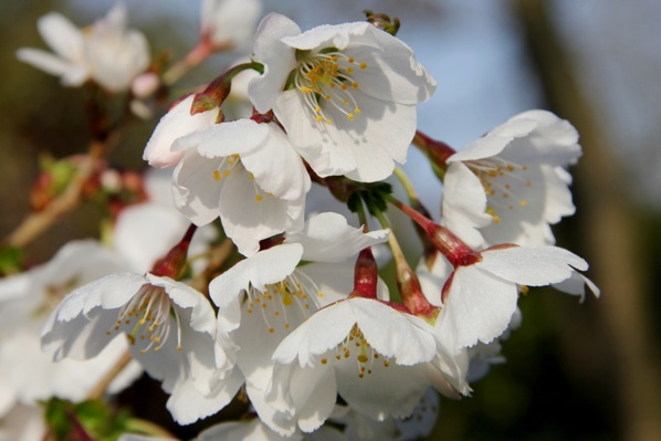Prunus Royal Flame flower close-up