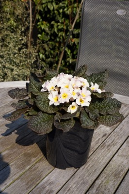 Primula Irish Primrose® Drumcliff in pot