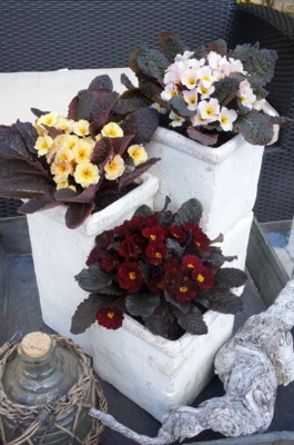 Primula Irish Primrose® Drumcliff on patio