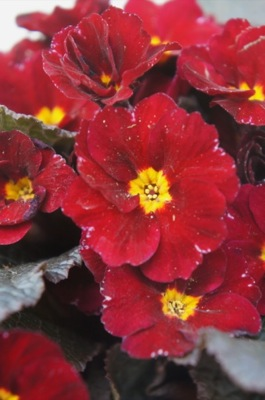Primula Irish Primrose® Innisfree flower close-up