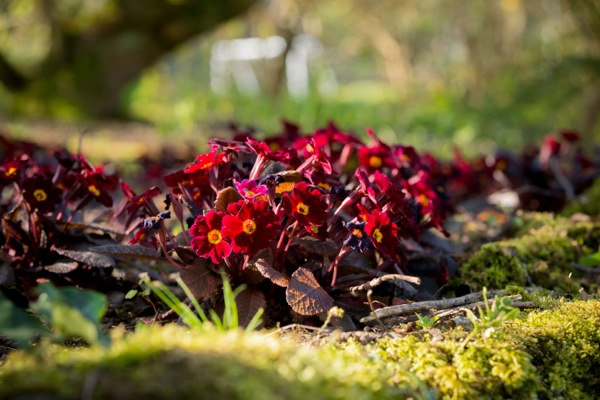 Primula Irish Primrose® Innisfree in garden