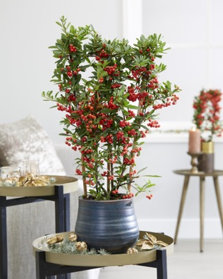 Pyracantha Red Star in pot