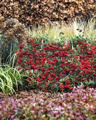 Pyracantha Red Star in garden