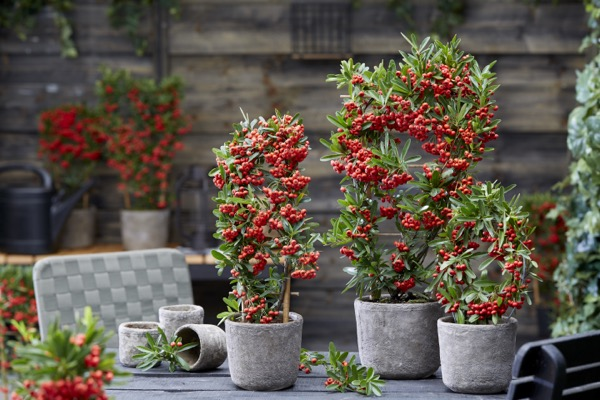 Pyracantha Red Star on patio