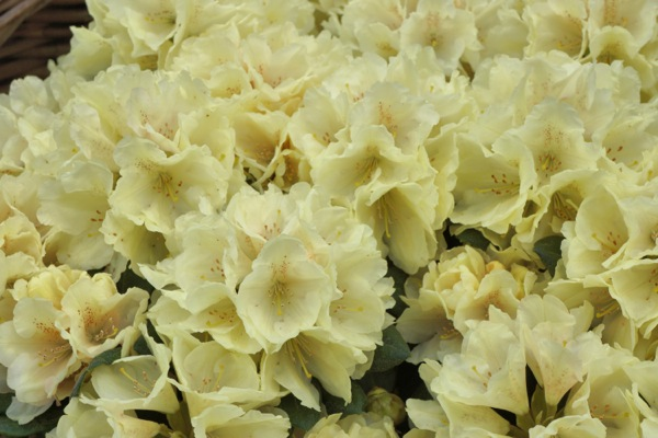 Rhododendron Centennial Gold flower image