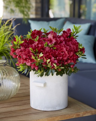 General image of Rhododendron Encore® Autumn Fire