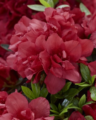 Rhododendron Encore® Autumn Fire flower close-up