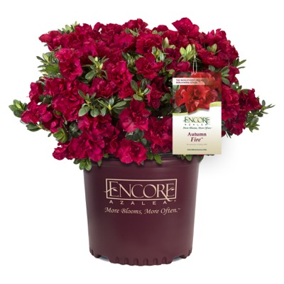 Rhododendron Encore® Autumn Fire in pot