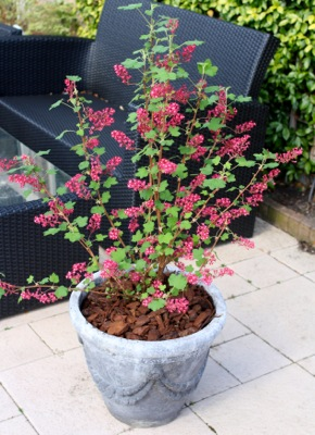Ribes Amore in pot