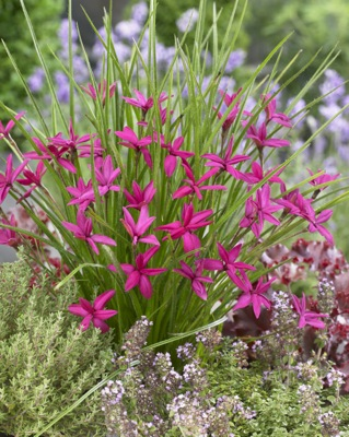 Rhodohypoxis Beverly in garden