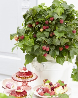 General image of Rubus BonBonBerry® Yummy