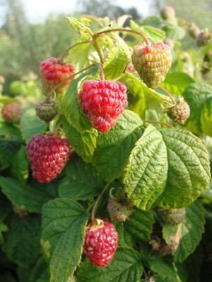 Rubus BonBonBerry® Yummy flower close-up