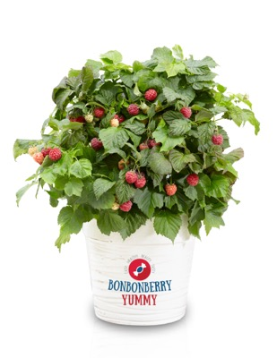 Rubus BonBonBerry® Yummy in pot