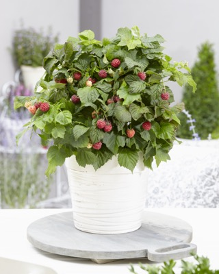 Rubus BonBonBerry® Yummy on patio