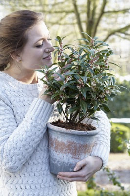 General image of Sarcococca Winter Gem