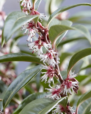 Sarcococca Winter Gem flower image