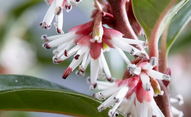 Sarcococca Winter Gem flower close-up