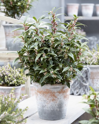 Sarcococca Winter Gem on patio
