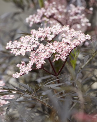 Sambucus Black Lace flower close-up