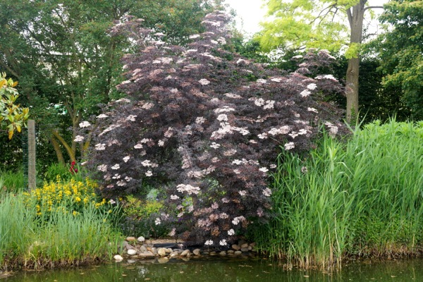 Sambucus Black Lace in garden