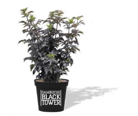 Sambucus Black Tower in pot