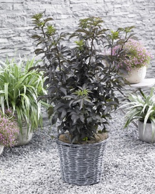 Sambucus Black Tower on patio