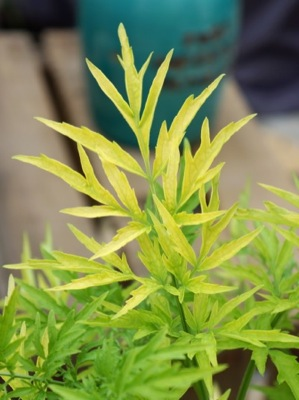 Sambucus Golden Tower foliage close-up