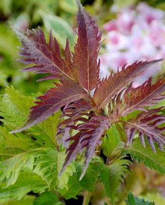 Sambucus Serenade foliage close-up